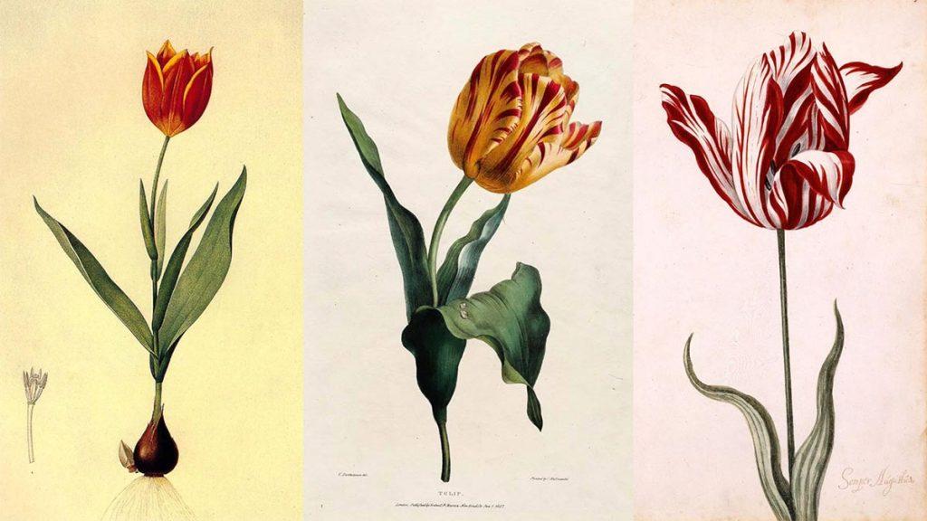 Histoire de la bourse : Tulipomanie